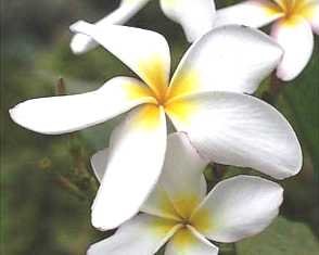 Plumeria2.jpg